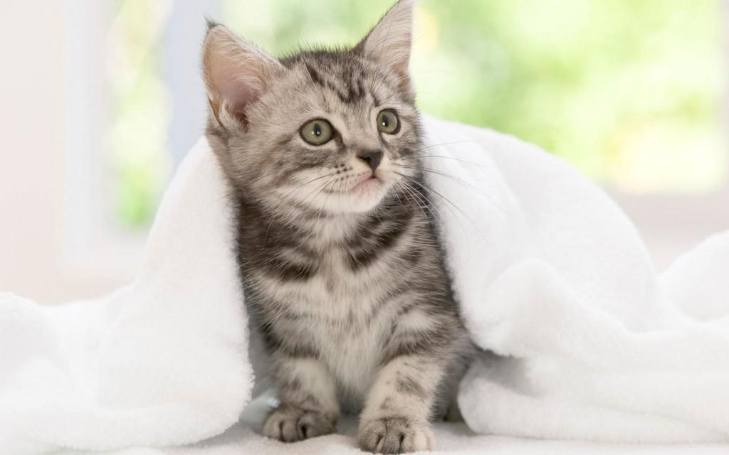 Kitten Backgrounds For Computer