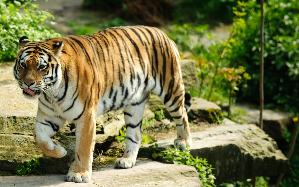 30 Free Beautiful Tiger Hd Wallpapers Designmaz