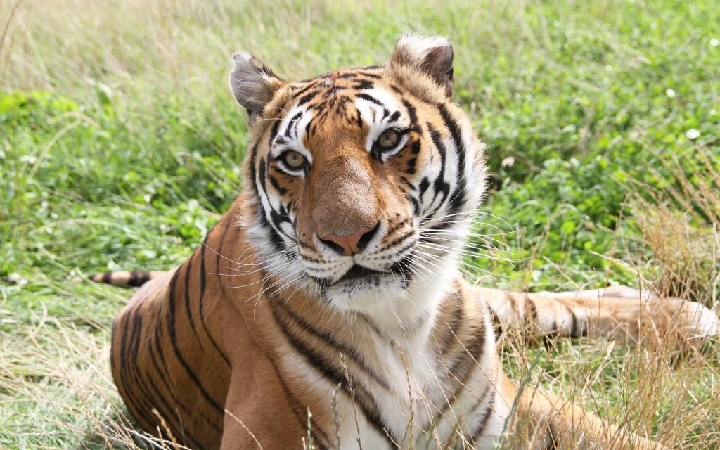 30+ Free Beautiful Tiger HD Wallpapers - DesignMaz